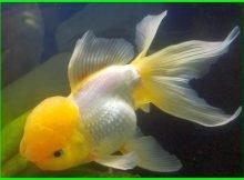 ikan koki oranda kuning cantik bagus, ikan koki oranda jambul, ikan koki oranda kontes, foto ikan koki oranda, ikan mas koki oranda, gambar ikan koki oranda, gambar ikan mas koki oranda, ikan mas koki oranda jambul, ikan mas koki oranda termahal, ikan mas koki oranda rosetail, jenis ikan mas koki oranda, ternak ikan koki oranda, warna ikan koki oranda