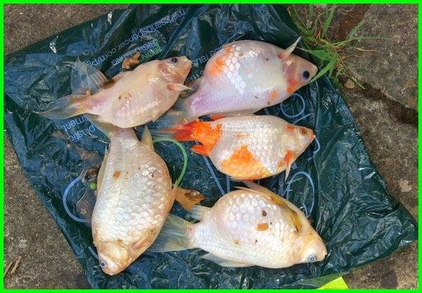 kenapa ikan koki cepat mati,kenapa ikan koki mudah mati, kenapa ikan koki sering mati, mengapa ikan koki cepat mati, kenapa ikan koki tiba tiba mati, mengapa ikan koki mudah mati, ikan mas koki mati mendadak, ikan koki mati mendadak, ikan koki cepat mati, ikan mas koki cepat mati, mengapa ikan mas koki mudah mati, ikan koki mati terus