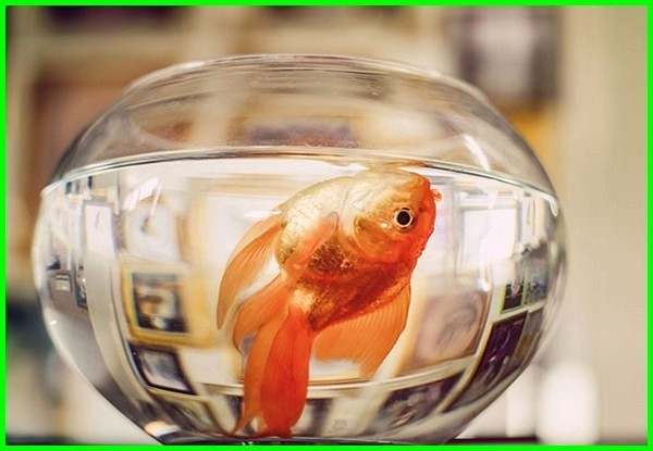 penyebab ikan koki mati mendadak, apa penyebab ikan koki mati, penyebab ikan mas koki mati di akuarium, kenapa ikan koki cepat mati, mengapa ikan koki cepat mati, penyebab ikan koki cepat mati, kenapa ikan mas koki cepat mati, penyebab ikan mas koki cepat mati,mengapa ikan mas koki cepat mati , kenapa ikan koki mutiara cepat mati, kenapa ikan koki gampang mati