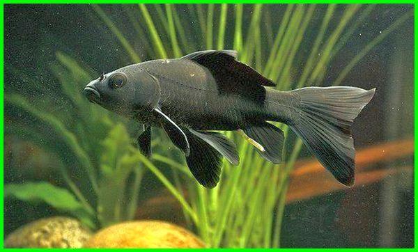 Jenis Ikan Komet Beserta Gambar Dan Harganya Daftarhewan Com