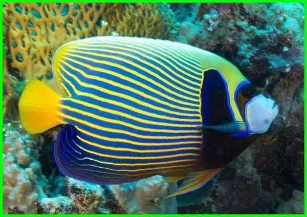 ikan angelfish laut, ikan hias air laut aquarium, ikan hias air laut angelfish, harga ikan hias air laut angelfish, ikan hias air laut untuk aquarium, angelfish air laut, jenis ikan angelfish laut, ikan angelfish, ikan hias air laut tercantik