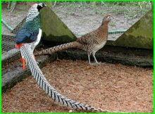 ayam lady amherst pheasant, ayam pheasant lady, harga ayam lady pheasant, ayam pegar lady amherst, ayam pegar lady, harga ayam pegar lady, jual ayam pegar lady