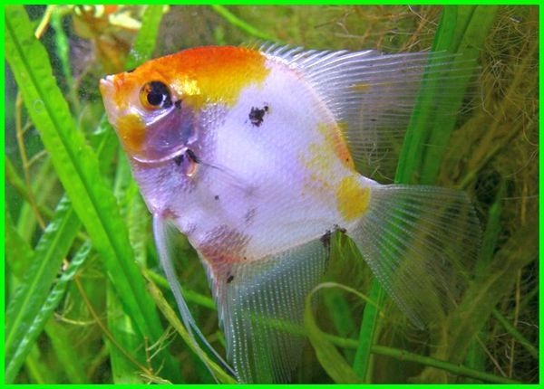 ikan hias angelfish air tawar, ikan angelfish, angelfish air tawar, ikan manfish air tawar, ikan hias air tawar manfish, sifat ikan angelfish, jenis ikan angelfish, jenis jenis ikan angelfish, macam macam ikan angelfish