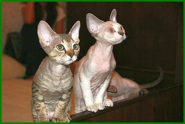 jenis jenis kucing kecil, berapa jenis kucing, jenis kucing kecil di indonesia, nama jenis kucing kecil