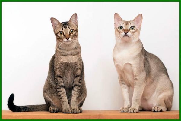 jenis jenis kucing kecil, jenis kucing kecil lucu, jenis kucing mungil, jenis jenis kucing peliharaan kecil, jenis jenis kucing persia kecil, mengetahui jenis kelamin kucing kecil, membedakan jenis kelamin kucing kecil, mengenali jenis kelamin kucing kecil, jenis kucing yang kecil