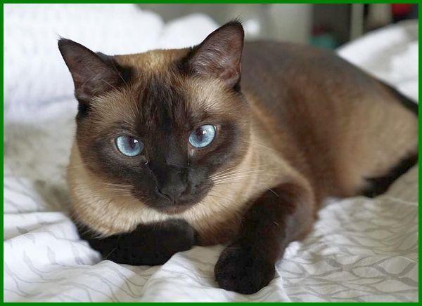 jenis kucing kecil didunia, jenis kucing yang kecil terus, jenis kucing ras kecil, jenis kucing kecil imut, jenis kucing bertubuh kecil, jenis kucing berbadan kecil, jenis kucing badan kecil, jenis kucing yang badannya kecil, jenis jenis kucing kecil