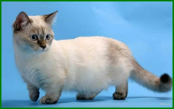 jenis kucing yang kecil terus, jenis kucing ras kecil, jenis kucing yang badannya kecil, jenis kucing kecil di indonesia, jenis kucing kecil lucu, jenis jenis kucing peliharaan kecil, nama jenis kucing kecil