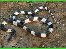 jenis ular sawah yang berbisa, macam macam ular sawah, bentuk ular sawah, jenis ular air sawah, jenis ular di sawah, jenis ular sawah berbisa, jenis ular yang ada di sawah, jenis ular yg ada di sawah, jenis jenis ular sawah, macam ular sawah, jenis2 ular sawah, ular sawah pendek