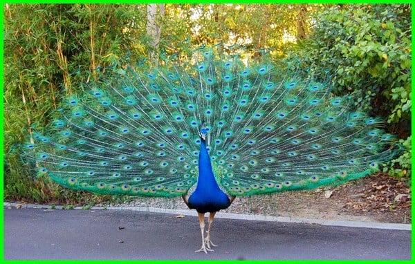 Perbedaan Burung Merak Biru Dan Hijau Daftarhewan Com