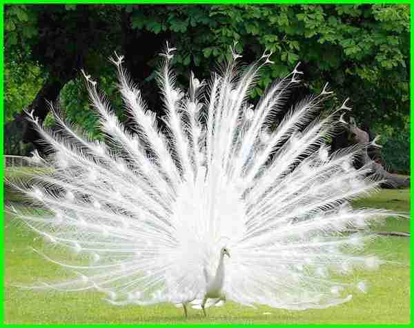 Burung Merak Putih Dan Penjelasannya Daftarhewan Com