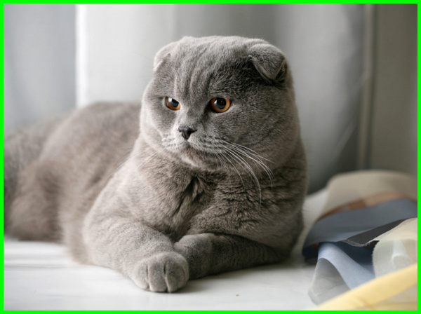 Uniknya Kucing Scottish Fold Yang Punya Telinga Lipat Daftarhewan Com