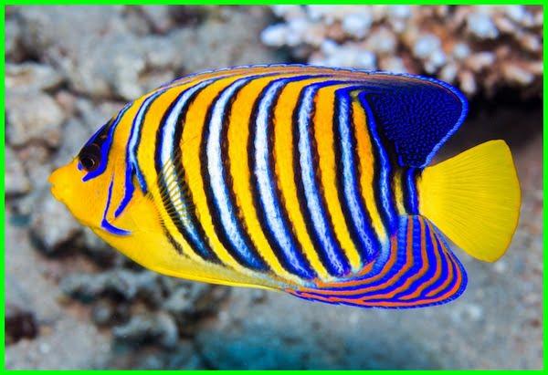 Top 15 Daftar Ikan Tercantik Di Dunia Daftarhewan Com